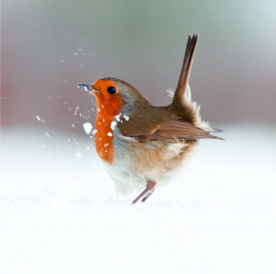 Christmas Cards - Robin in the snow