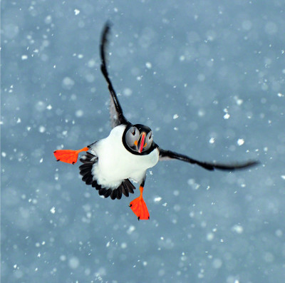 Christmas Cards Flying Puffin